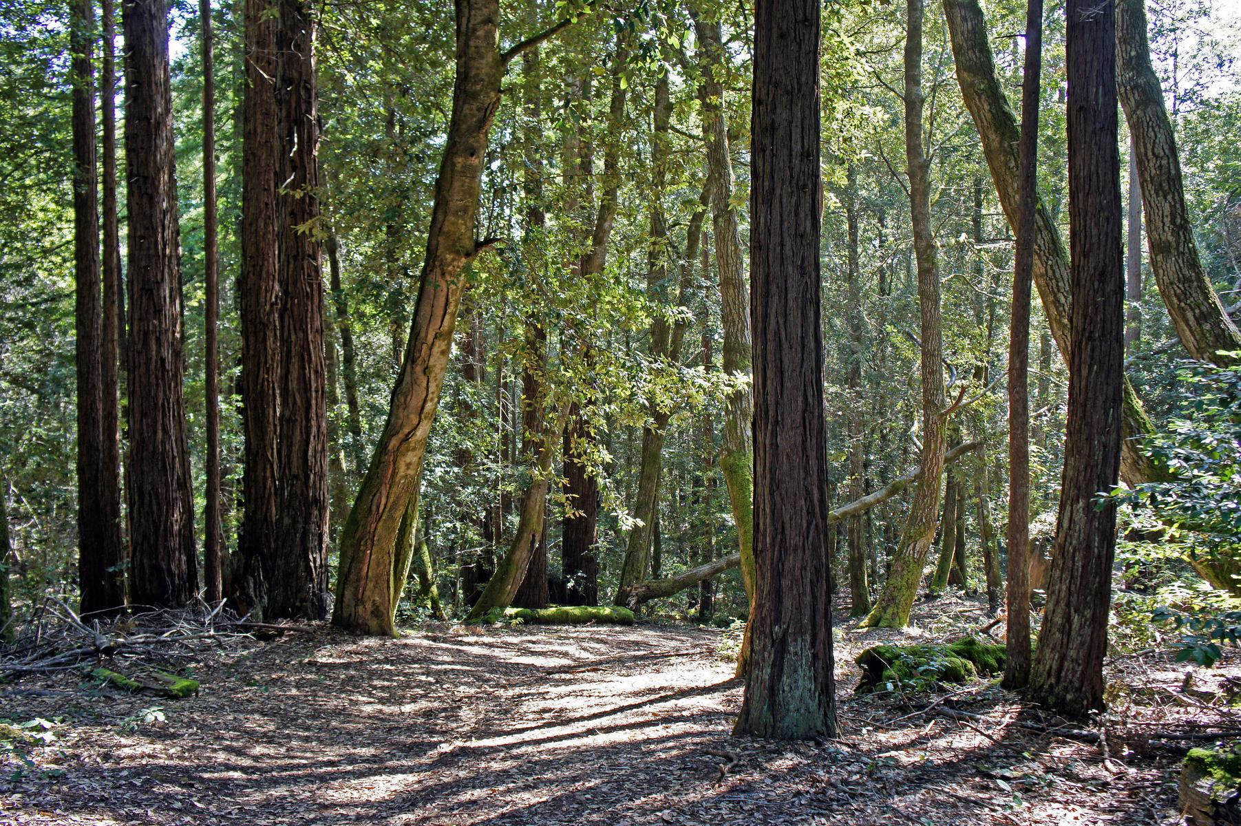 Kruse Rhododendron Reserve, Sonoma County Coast, California
